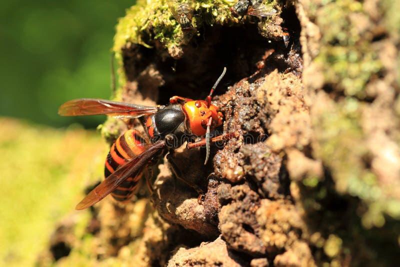 日本巨型大黄蜂 免版税库存照片