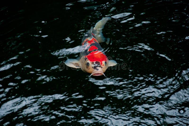 日本明亮的橙红鲤鱼鱼在神圣的池塘 库存照片