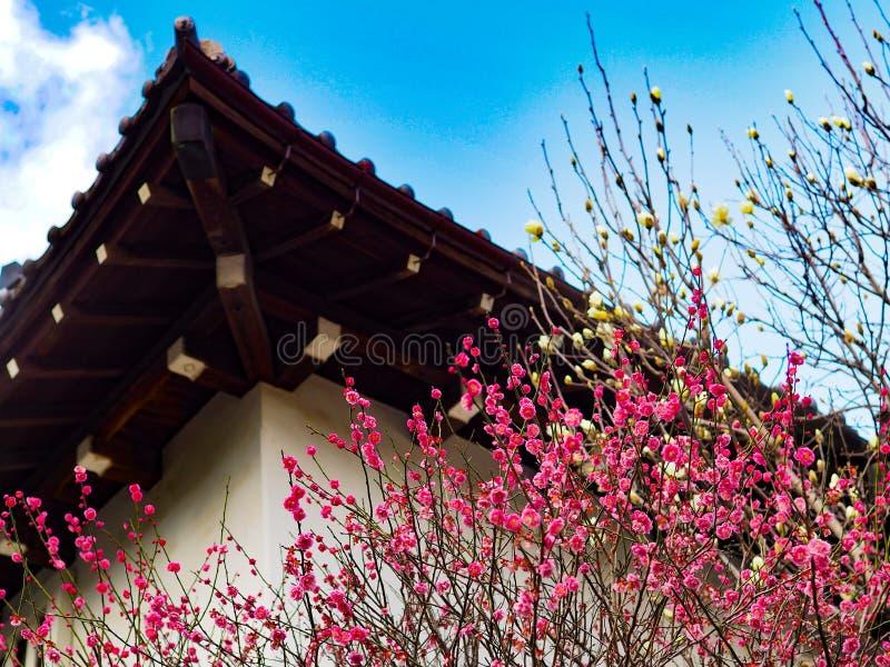 日本春天在桃红色和白色在背景中进展与传统日本房子 库存图片