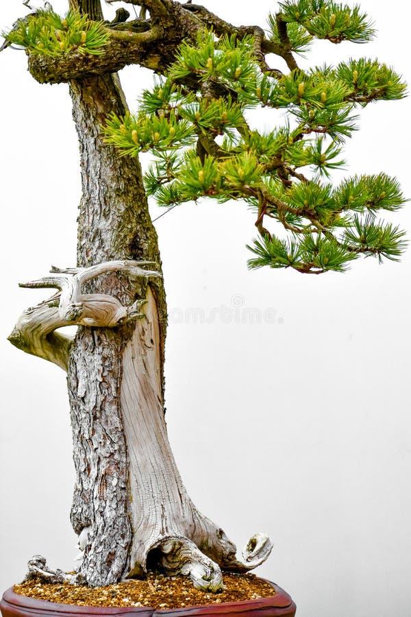 日本杉木盆景树白色背景 库存照片