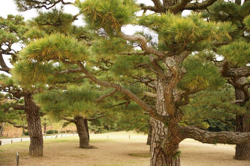 日本杉树在庭院里 图库摄影