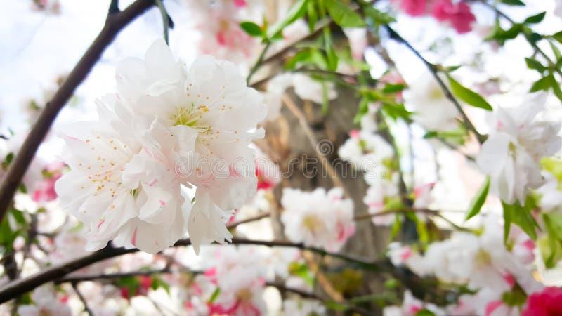 日本杏子接近的花  库存图片