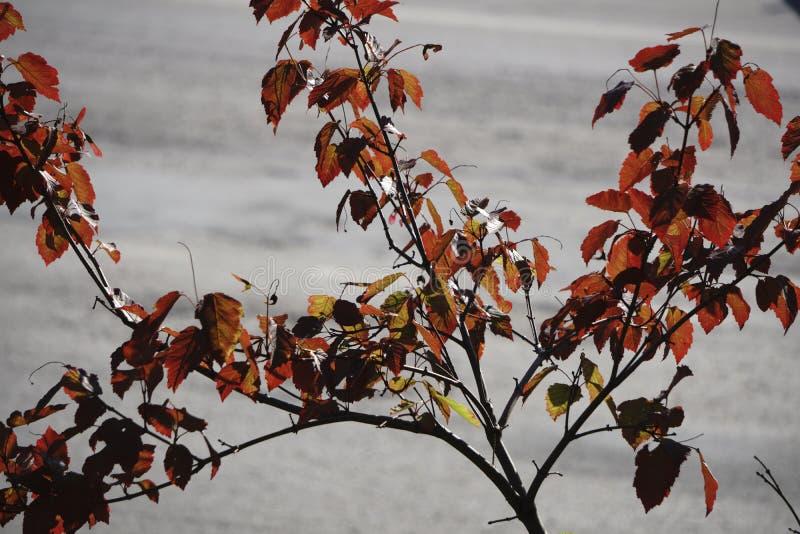 日本枫树离开显露改变的季节的美好的秋季颜色 免版税库存图片