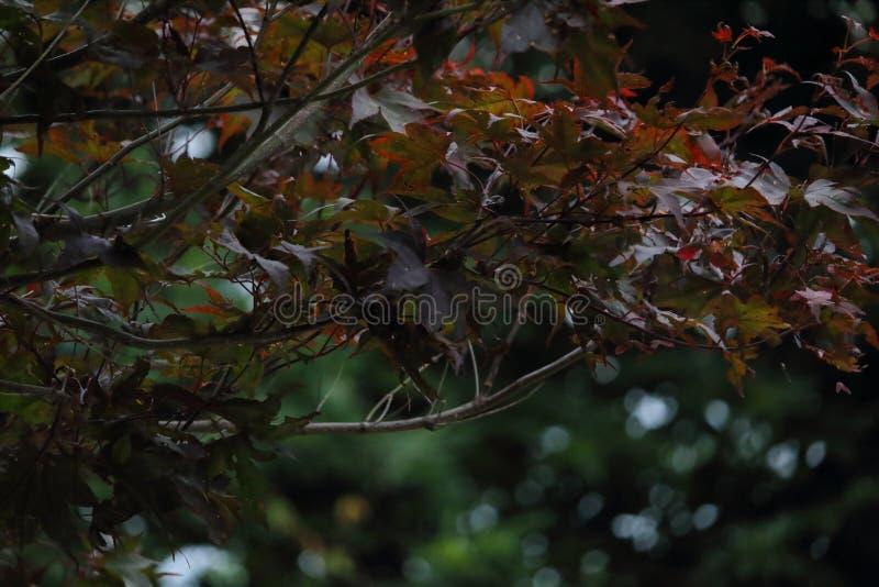 日本枫树 免版税库存照片