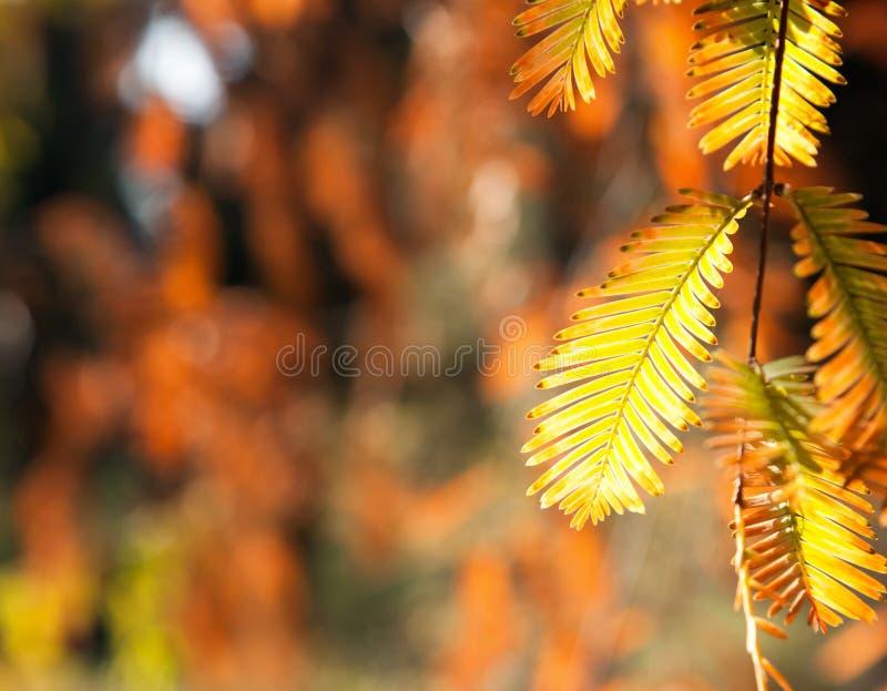 日本树黄色叶子  免版税库存图片