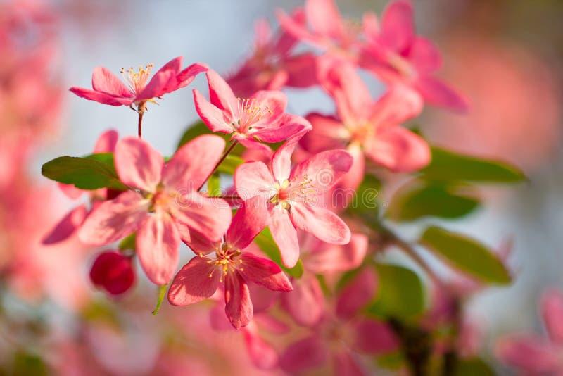 日本桃红色和红色樱桃树花开花 库存图片