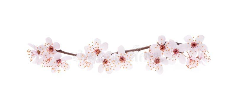 日本樱桃分支与开花的 免版税库存照片