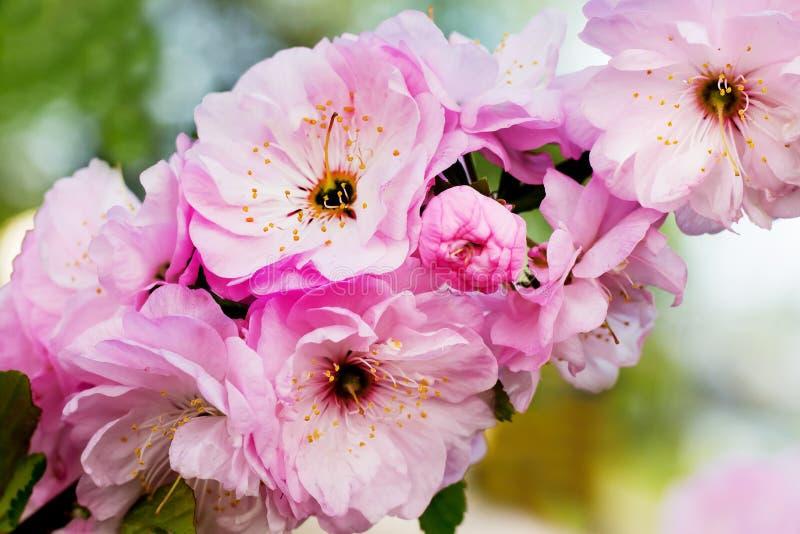 日本樱桃桃红色花  在garden_的开花的樱桃 免版税库存图片