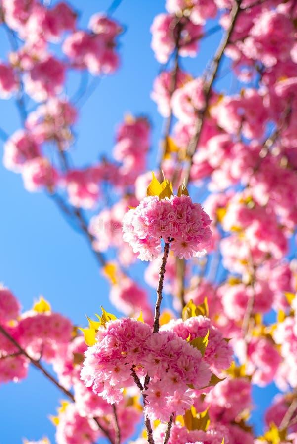 日本樱桃 李属serrulata 佐仓节日 与花的背景在一个春日 樱花 Sacura 库存图片