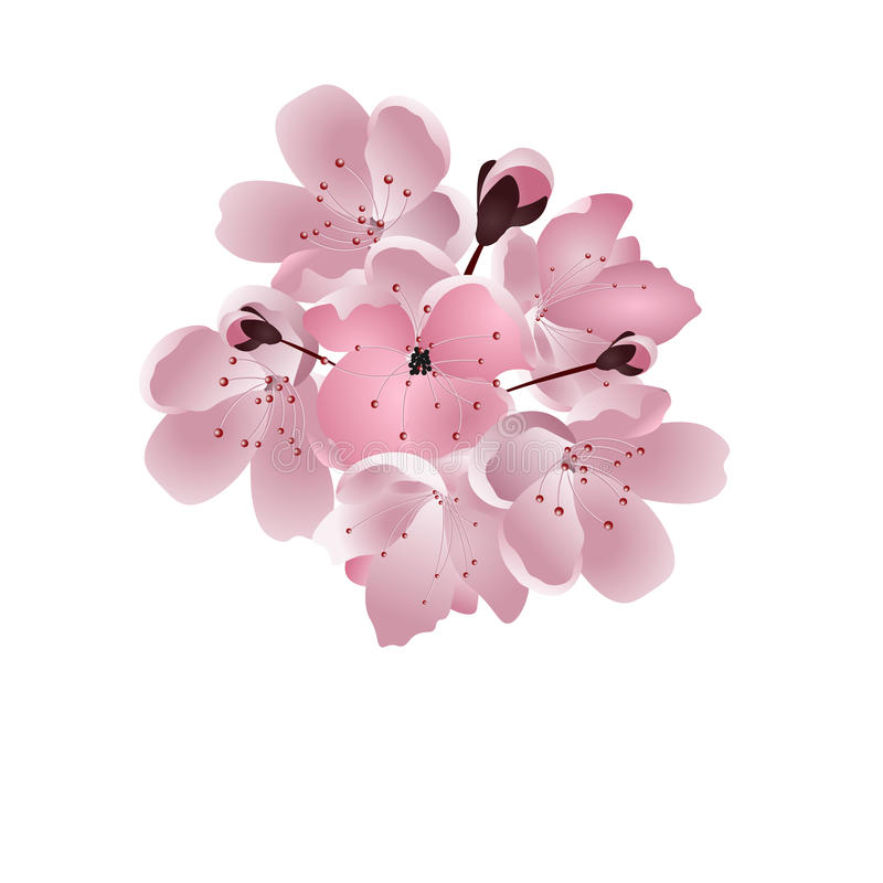 日本樱桃 桃红色佐仓开花花束有芽的 背景查出的白色 库存例证