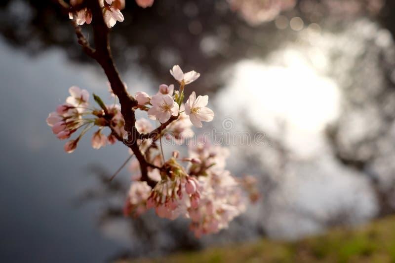 日本樱花在盛开,日本 免版税库存照片