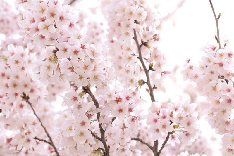日本樱花树充分的开花或春天背景 免版税库存照片