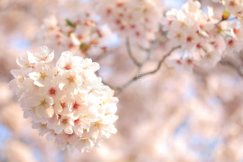 日本樱花树充分的开花或春天背景 库存图片