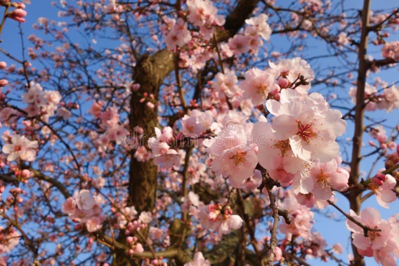 日本樱花树在春天 库存图片