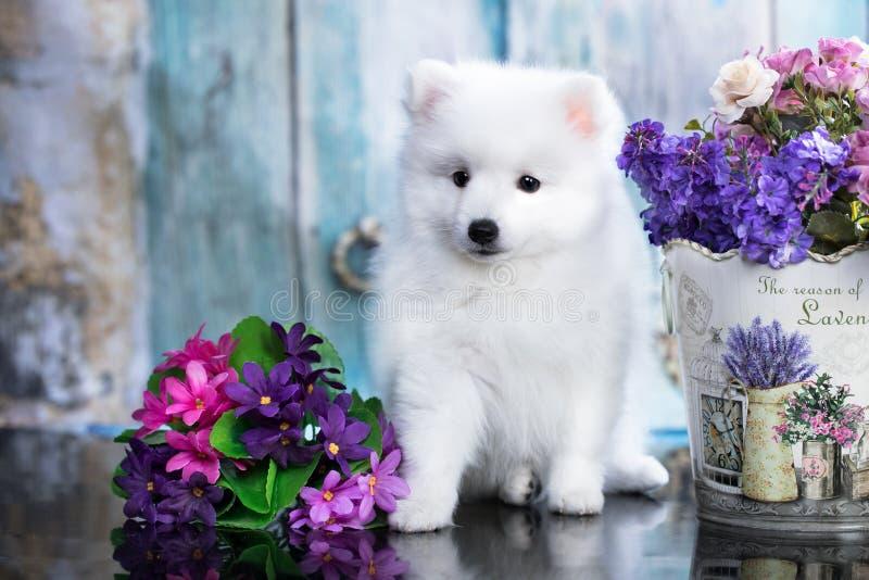 日本波美丝毛狗,狗逗人喜爱的宠物幸福微笑在花 免版税库存照片