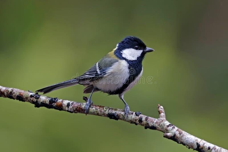上海泰国的山雀帕鲁斯较小逗人喜爱的鸟日本在什么地方能买到画眉鸟图片