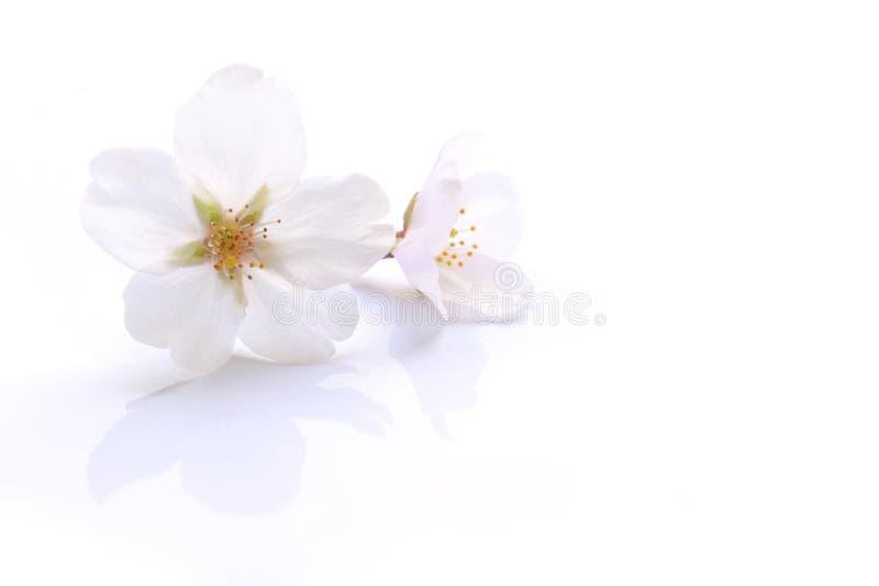 日本白色樱花隔绝了2 免版税库存图片