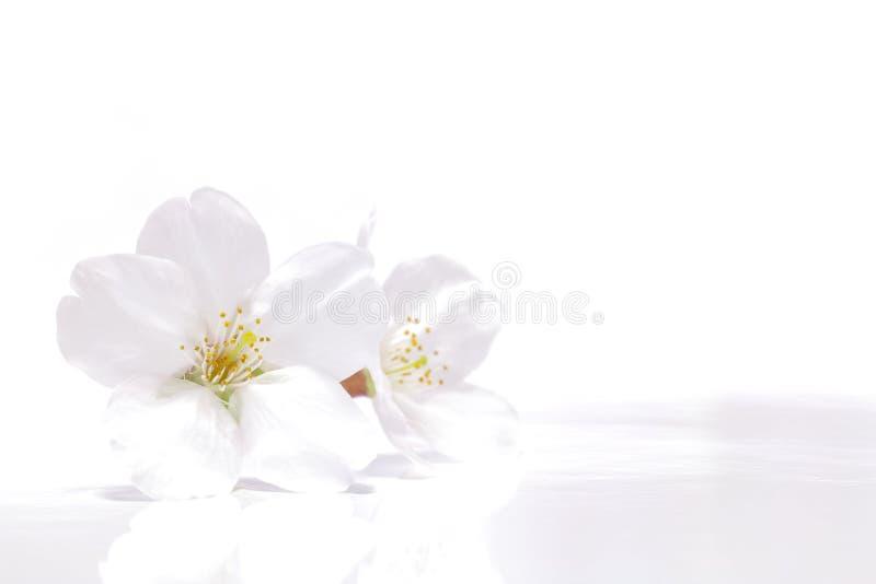 日本白色樱花 图库摄影