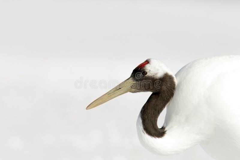 从日本的冬天场面 鸟细节画象  红被加冠的起重机、粗碎屑japonensis、顶头画象与白色和后面全身羽毛, w 库存照片