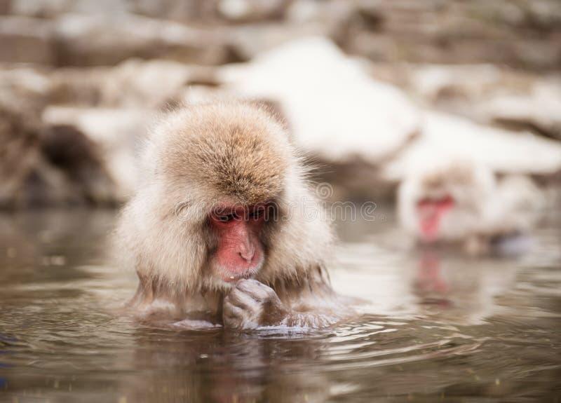 日本短尾猿在温泉 免版税库存图片