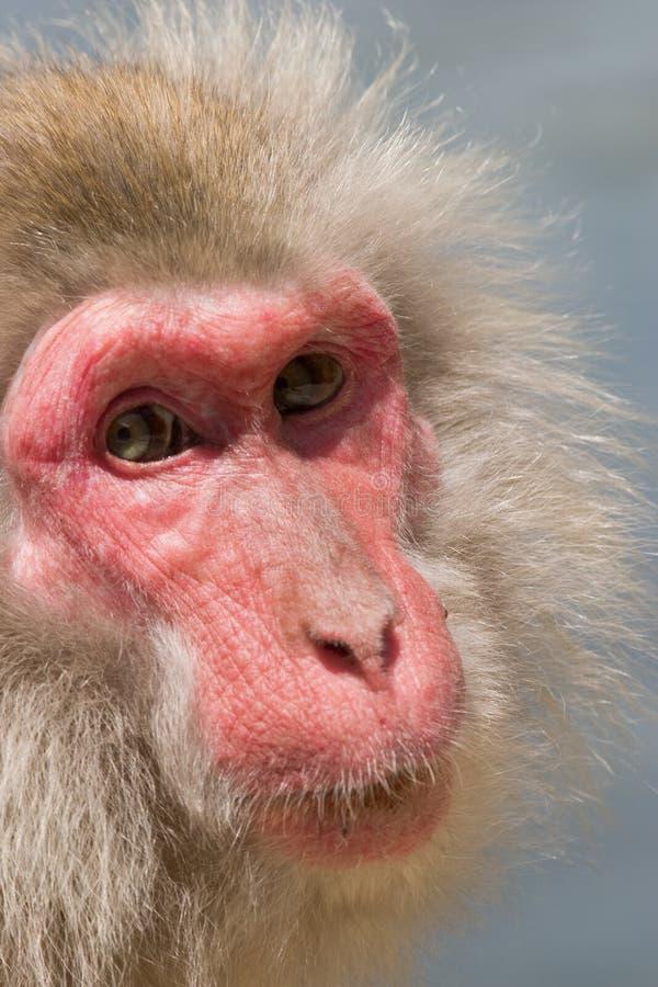 日本短尾猿猴子 免版税图库摄影