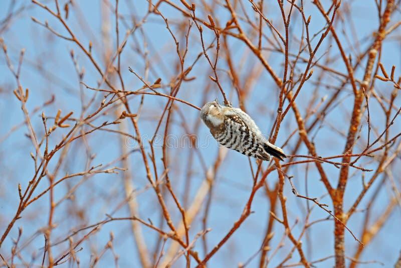 日本矮小啄木鸟, Dendrocopos kizuki,从北海道,日本的小啄木鸟 在冬天期间,与,在树的小的鸟 免版税库存图片