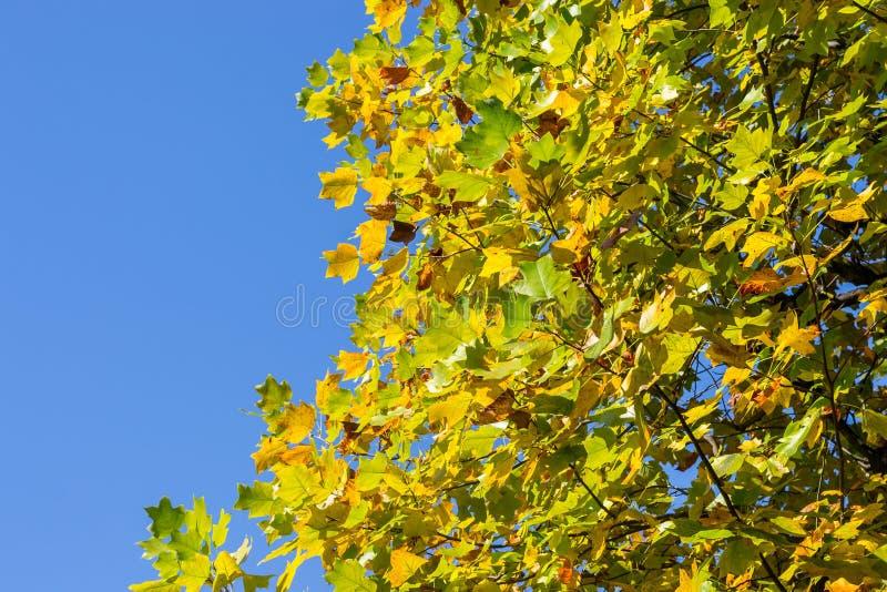 日本秋天美丽的黄色和绿色色的叶子 库存照片