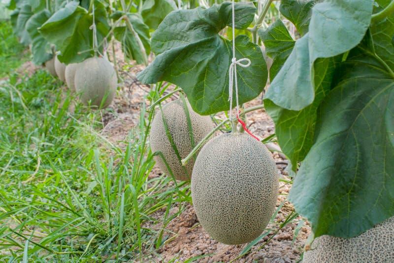 日本绿色瓜自温室 库存照片