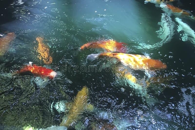 日本花梢鲤鱼或Koi鱼 图库摄影