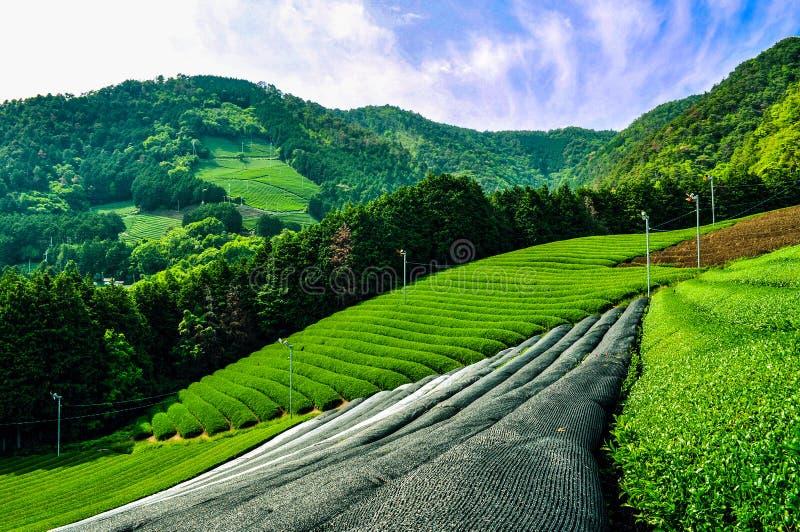 日本茶领域在一好日子 库存照片