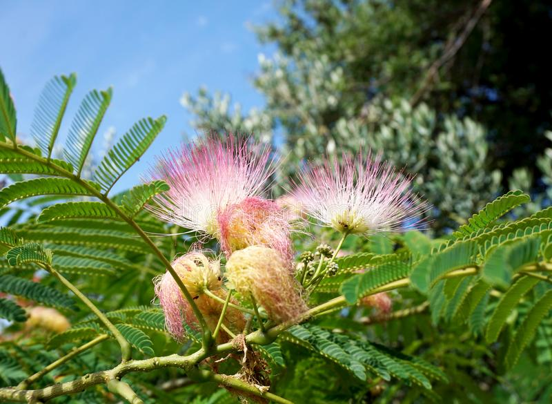 日本金合欢、合欢树julibrissin、美丽的开花的浅粉红色的花前景和绿色树叶子和天空在backgr 库存照片