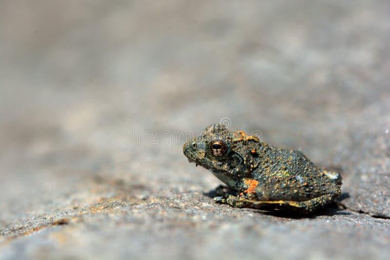 日本雨蛙 库存图片