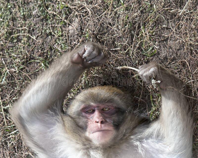 日本雪猴子 免版税图库摄影