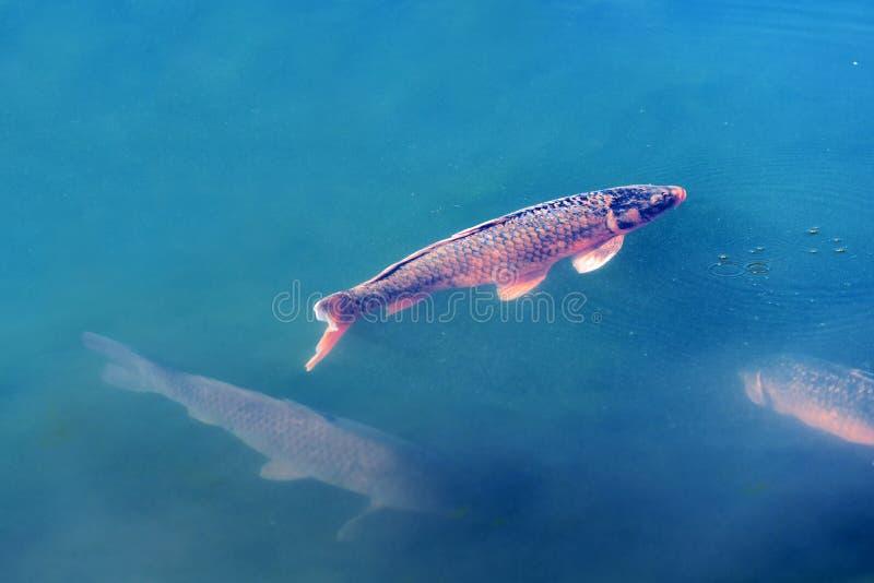 日本鲤鱼在池塘,京都,日本 复制文本的空间 图库摄影