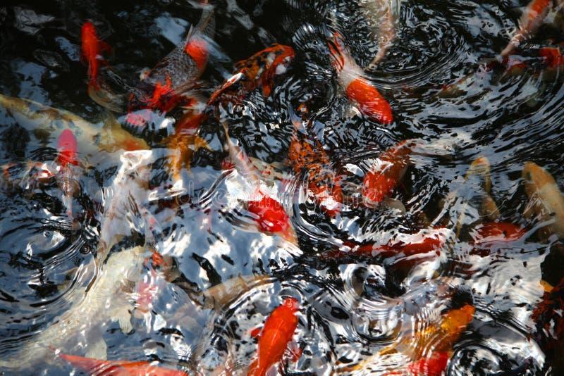 日本鲤鱼在水中 库存照片