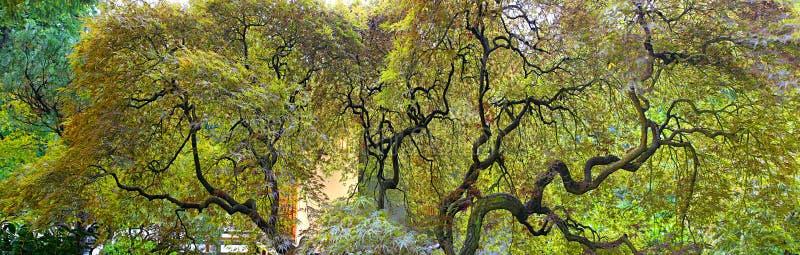 日本laceleaf槭树老结构树 免版税库存图片