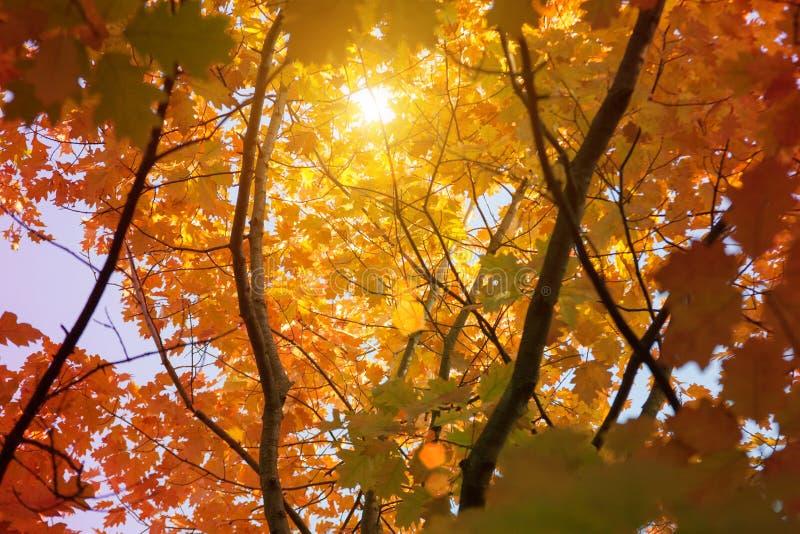 日落和橡树 阳光通过树叶子 黄色,红色,绿色叶子在阳光下 美好的叶子背景 库存照片
