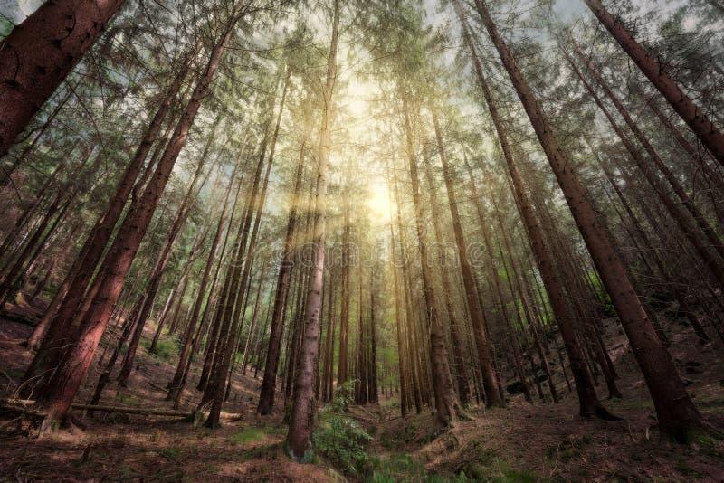 日落在一个深森林里 免版税库存图片