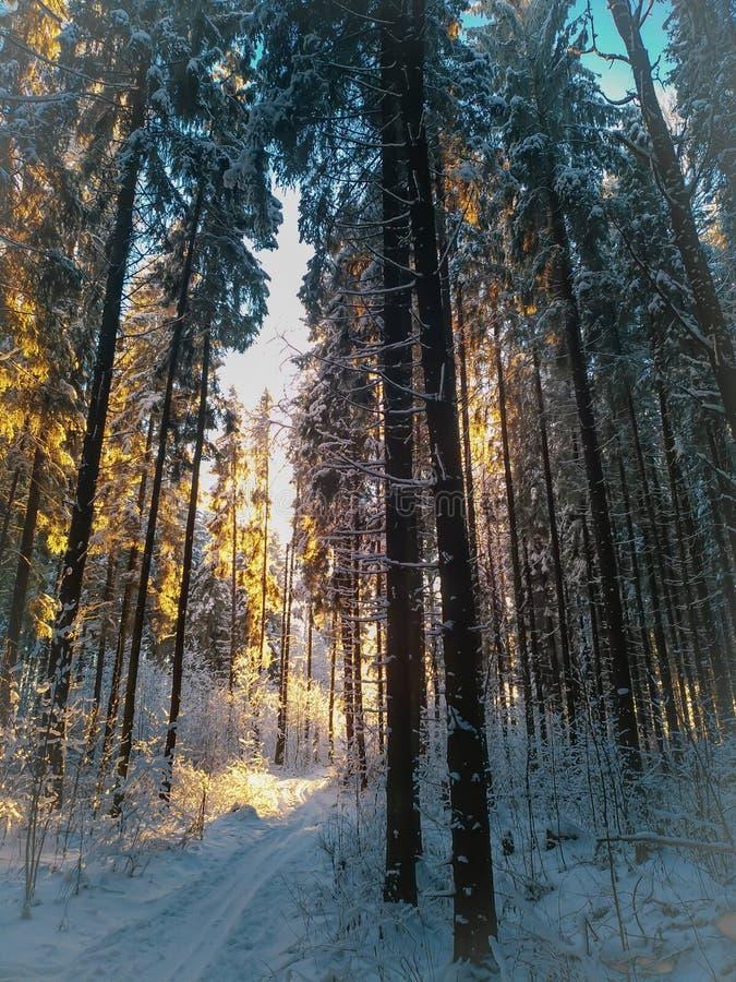 日落在冬天杉木森林里 免版税图库摄影