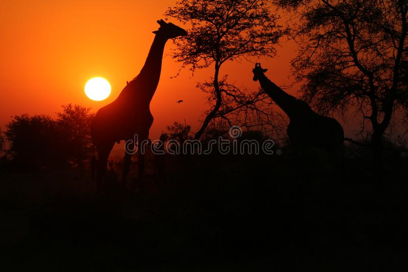 日落在南非,在前景的长颈鹿 库存照片