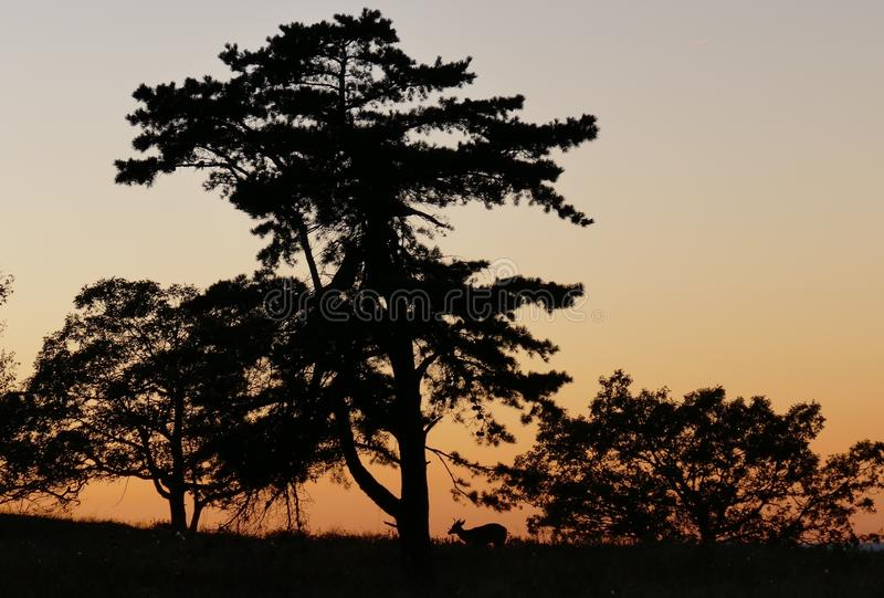 日落在有silhouet的雪伦多亚鹿 免版税库存图片
