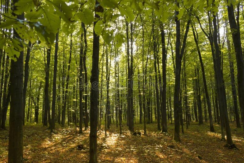日落在桤木森林里 库存图片