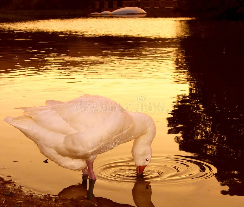 Download 日落天鹅 库存照片. 图片 包括有 bren, 平安, 温暖, 焕发, 波纹, 浪漫, 反映, 黄昏, 亮光 - 183418