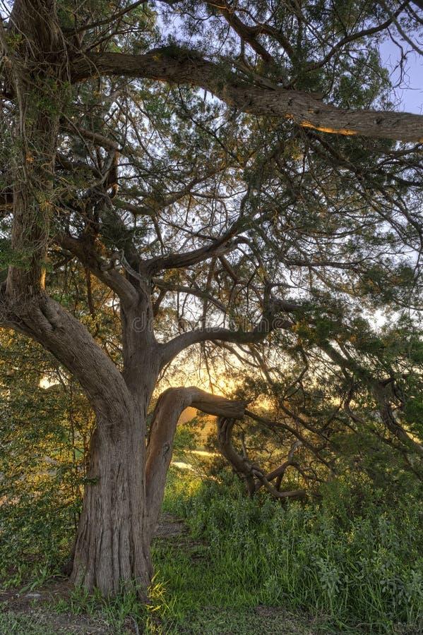日落小橡树结构树 库存图片