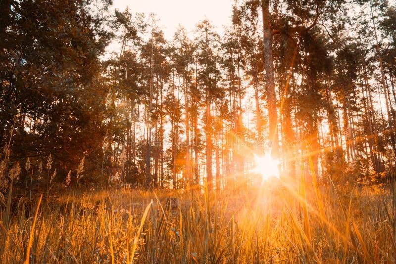 日落或日出在秋天森林发光与太阳光芒通过森林树和草的太阳里在夏天森林里 免版税库存图片