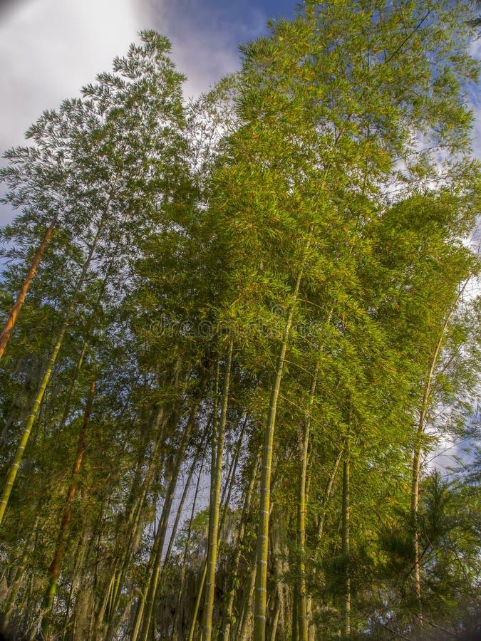 日落照亮的guadua的种植园 图库摄影