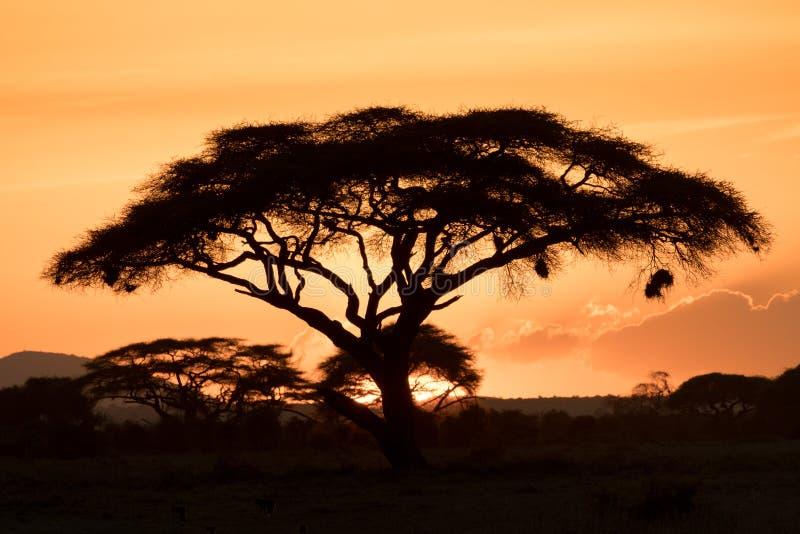 日落现出轮廓的金合欢树 免版税图库摄影