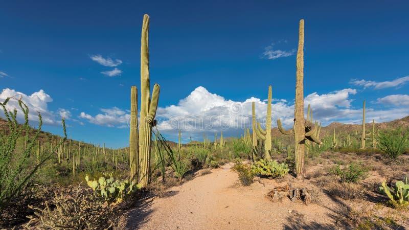 日落的亚利桑那沙漠用柱仙人掌仙人掌在菲尼斯附近的Sonoran沙漠 库存图片