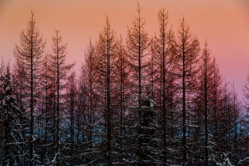 日落的冬天神仙的森林 免版税库存照片