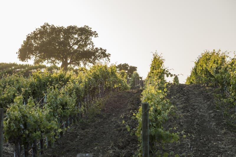 日落的加利福尼亚葡萄园与在距离的一个橡树我 图库摄影